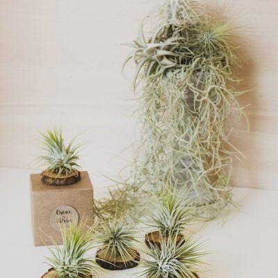 Tillandsias: un regalo original para tu boda verde y elegante